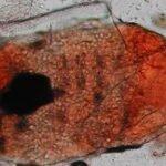 larve de Straelenzia cynotis isolée, dans du lactophénol, x100 - Vétérinaire Dermatologue Montpellier
