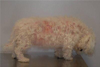 Lymphome T non épithéliotrope - Vétérinaire Dermatologue Montpellier