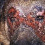 Lupus érythémateux aigu disséminé(masque lupique) - Vétérinaire Dermatologue Montpellier
