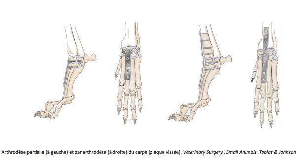 Arthrodèse partielle (à gauche) et panarthrodèse (à droite) du carpe (plaque vissée). Veterinary Surgery : Small Animals. Tobias & Jonhson