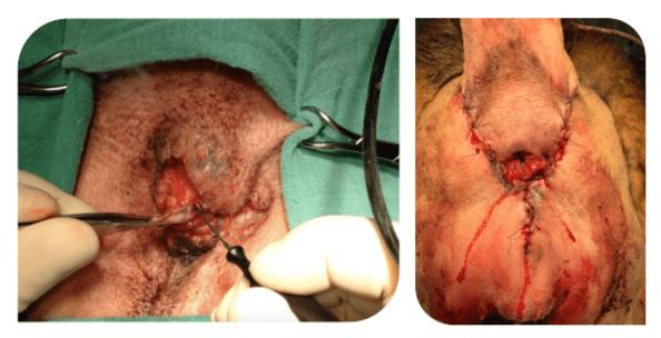 Aspect per et post opératoire de chiens traités chirurgicalement